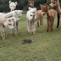 Alpacas and a Hedgehog
