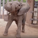 Excited Baby Elephant